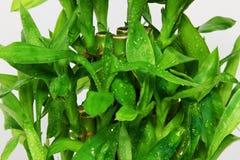 белизна предпосылки bamboo зеленая Стоковые Изображения RF