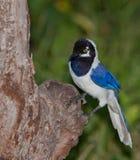 белизна птицы замкнутая jay стоковое изображение rf
