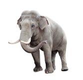 белизна путя клиппирования изолированная слоном Стоковое фото RF