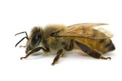 белизна пчелы близкая поднимающая вверх Стоковая Фотография