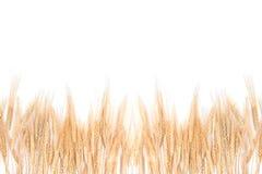 белизна пшеницы травы предпосылки Стоковые Изображения RF