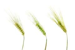 белизна пшеницы ушей предпосылки изолированная зеленым цветом Стоковая Фотография RF