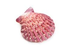 белизна раковины моря предпосылки Стоковое Фото
