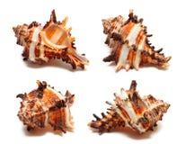 белизна раковины моря Стоковое фото RF