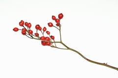 белизна розы вальм Стоковое фото RF
