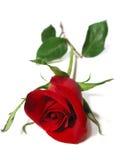 белизна розы красного цвета предпосылки Стоковое Изображение RF