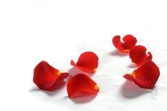 белизна розы лепестков предпосылки Стоковые Изображения