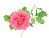 белизна розы пинка предпосылки изолированная цветком Стоковое Изображение