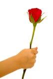 белизна розы руки предпосылки Стоковое Изображение