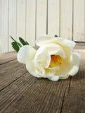 белизна розы собаки Стоковые Фотографии RF