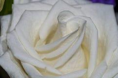 1 белизна розы Стоковая Фотография