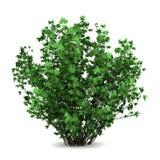 белизна розы bush изолированная guelder стоковая фотография