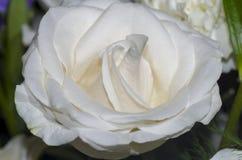 белизна 2 роз Стоковые Фото