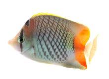 белизна рыб бабочки предпосылки изолированная Стоковое Изображение