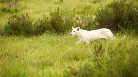 белизна саванны льва Стоковое Изображение