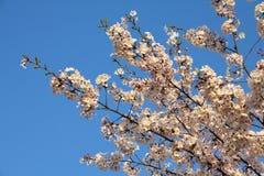 Белизна Сакура токио Стоковая Фотография