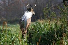 белизна самеца оленя замкнутая оленями Стоковые Фото