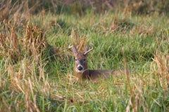 белизна самеца оленя замкнутая оленями Стоковое Изображение