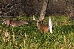 белизна самеца оленя замкнутая оленями Стоковая Фотография