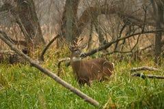 белизна самеца оленя замкнутая оленями Стоковое Изображение RF