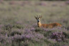 белизна самеца оленя замкнутая оленями Стоковая Фотография RF