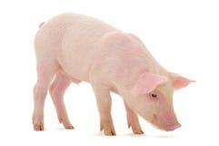 белизна свиньи стоковая фотография rf
