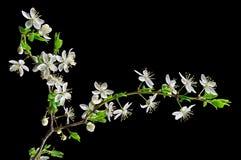 белизна сливы вишни цветения Стоковая Фотография