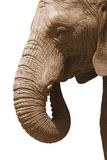 белизна слона Стоковое фото RF