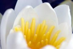 белизна снежка лилии Стоковое Изображение RF