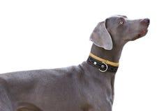 белизна собаки изолированная серым цветом Стоковое Изображение