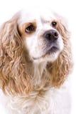 белизна собаки предпосылки милая Стоковая Фотография RF
