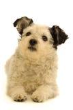 белизна собаки предпосылки Стоковая Фотография RF