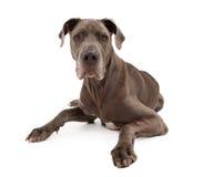 белизна собаки датчанина большая изолированная Стоковая Фотография