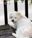 белизна собаки стоковые изображения rf