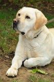 белизна собаки Стоковое Изображение RF