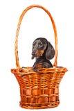 белизна собаки dachshund корзины сидя Стоковые Изображения