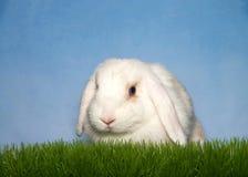 Белизна сокращает ушастый зайчика в траве Стоковая Фотография