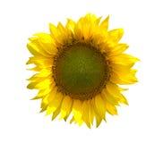 белизна солнцецвета предпосылки Стоковое Изображение