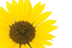 белизна солнцецвета предпосылки Стоковые Фото