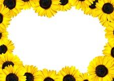 белизна солнцецвета рамки предпосылки свежая Стоковые Фотографии RF