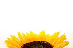 белизна солнцецвета blackground Стоковое Фото