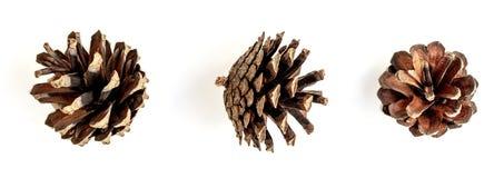 белизна сосенки предмета предпосылки изолированная конусами Комплект различных конусов хвойного дерева изолированных на whi стоковые изображения rf