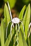 белизна спайдера лилии hymenocallis стоковые фото