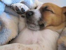 Белизна спать и щенок Брайна Стоковое Изображение RF