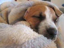 Белизна спать и щенок Брайна Стоковые Изображения RF