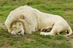 белизна спать льва Стоковые Фотографии RF