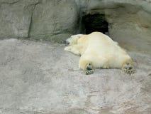 белизна спать медведя Стоковое Изображение RF