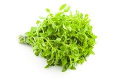 белизна специи травы базилика предпосылки свежая Стоковые Изображения RF