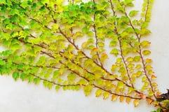 белизна стены ветви заштукатуренная плющом стоковая фотография