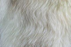 белизна текстуры шерсти лисицы приполюсная Стоковое Изображение